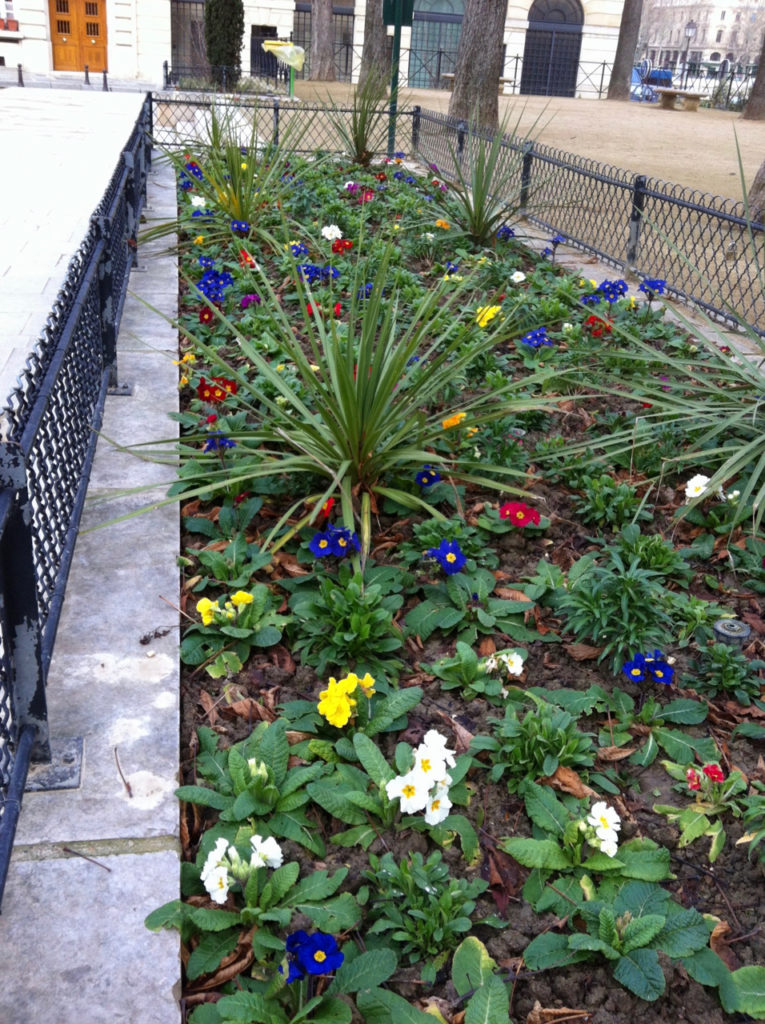 Primrose Flower Bed in January at Place Dauphine