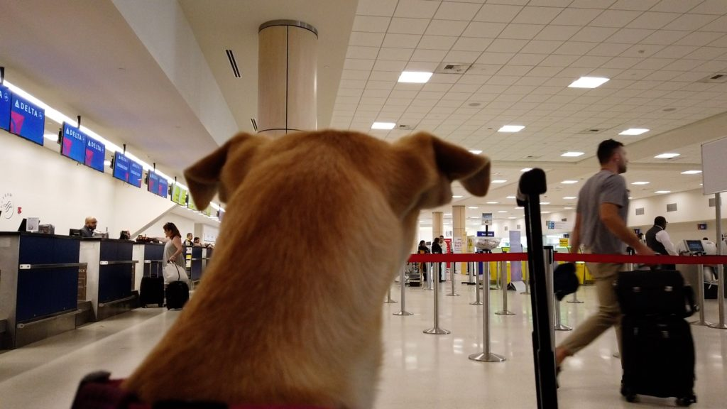 A picture from behind of a dog looking out into the Delta terminal in Puerto Rico.