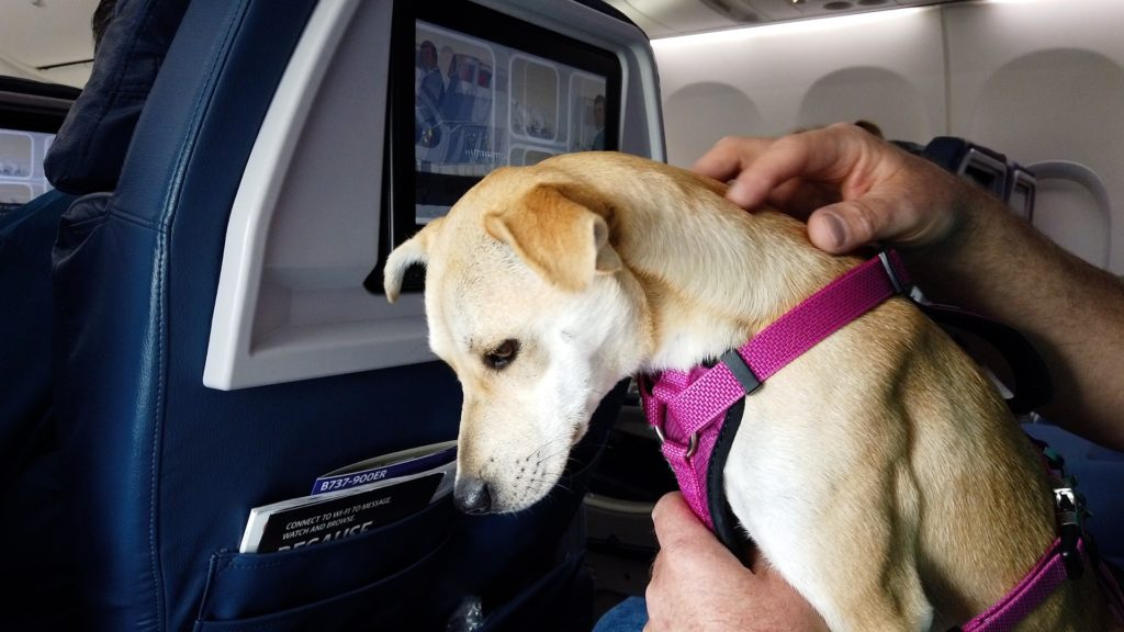 A small Sato dog from Puerto Rico in a Delta Airlines seat.