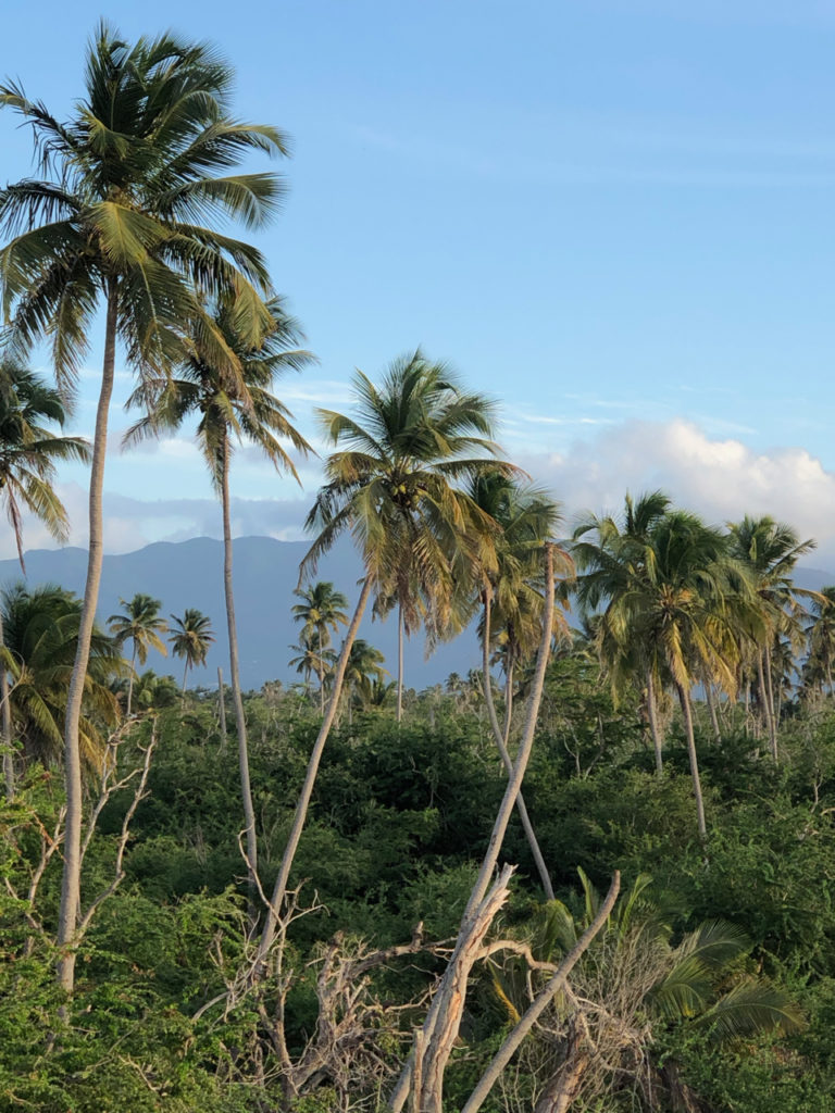 A picture of palm trees with El Yunque National Forest in Puerto Rico in the background.