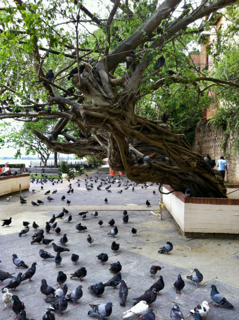 A picture of a twisted old tree and pigeons in Parque Las Palomas in Old San Juan, Puerto Rico